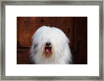 Portrait Of An Old English Sheepdog Framed Print