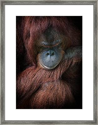 Portrait Of An Orangutan Framed Print by Zoe Ferrie