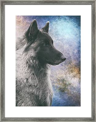 Portrait Of Belgian Tervuren Framed Print by Wolf Shadow  Photography