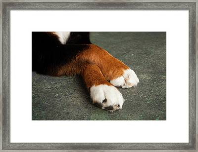 Portrait Of Bernese Mountain Dog Paws Framed Print