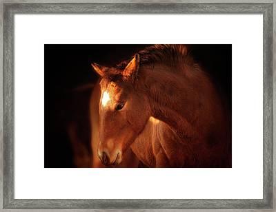 Portrait Of Brown Foal In Soft Light Framed Print by Sheila Haddad