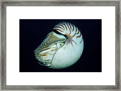 Portrait Of Chambered Nautilus Nautilus Framed Print