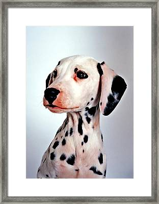 Portrait Of Dalmatian Dog Framed Print by Lanjee Chee