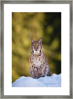 Portrait Of Eurasian Lynx (lynx Lynx Framed Print by Martin Zwick