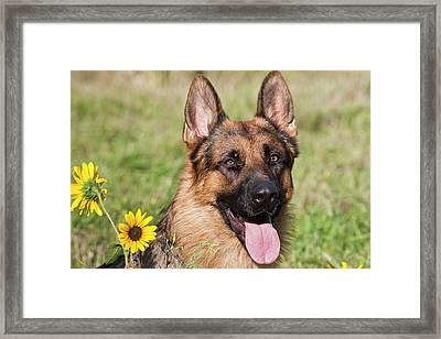 Portrait Of German Shepherd Sitting Framed Print