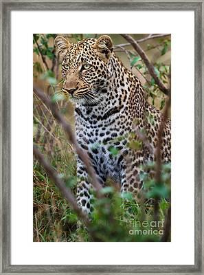 Portrait Of Leopard Male Paja In Masai Mara Framed Print