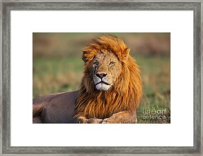 Portrait Of Lion Romeo II In Masai Mara Framed Print by Maggy Meyer