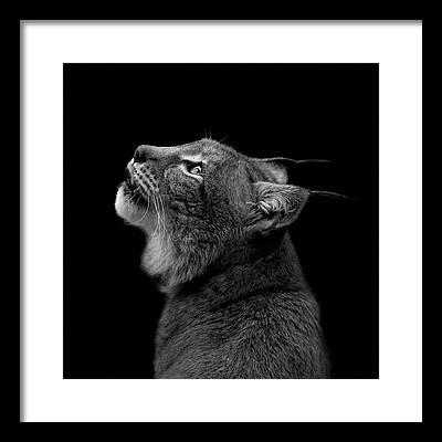 Lynx Framed Prints