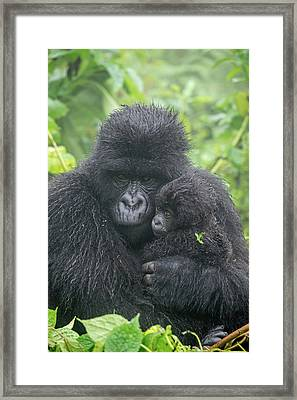 Portrait Of Mountain Gorilla, Gorilla Framed Print by Tom Murphy