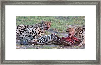 Portrait Of Two Cheetahs Eating Framed Print