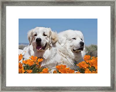 Portrait Of Two Great Pyrenees Lying Framed Print by Zandria Muench Beraldo