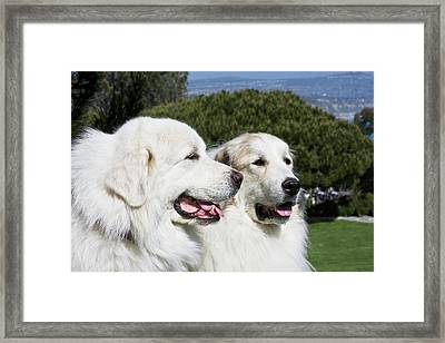 Portrait Of Two Great Pyrenees Together Framed Print by Zandria Muench Beraldo