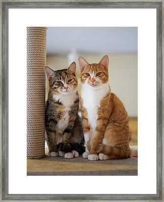 Portrait Of Two Young Cats Framed Print by Akimasa Harada