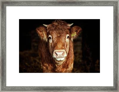 Portrait Of Young Cow Framed Print by T-lorien