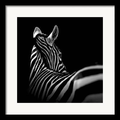 Zebra Face Framed Prints