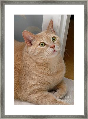 Portrait Orange Tabby Cat Framed Print