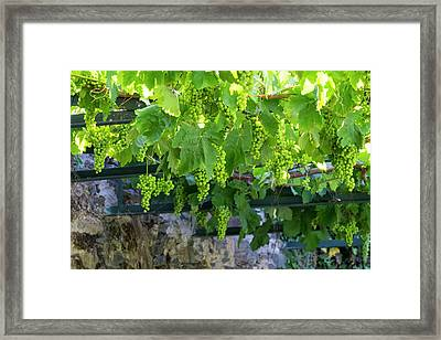 Portugal, Douro Valley, Grapes Framed Print by Emily Wilson