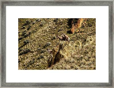 Posing Bighorn Sheep Framed Print by Robert Bales