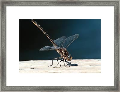 Posing Dragonfly Framed Print