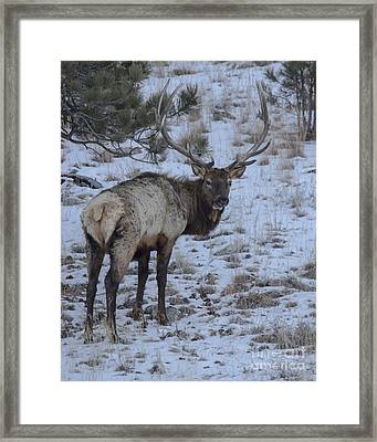 Elk Bull In Wind Cave National Park Framed Print