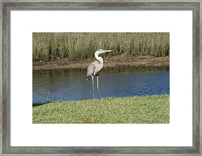Posing Heron Framed Print