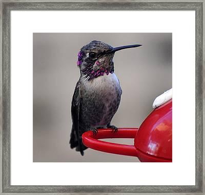 Framed Print featuring the photograph Posing Juvenile Hummingbird Anna by Jay Milo