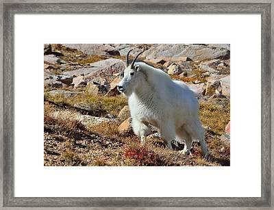 Posing Mountain Goat Framed Print