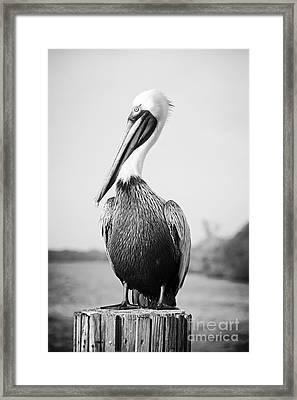 Posing Pelican - Black And White Framed Print