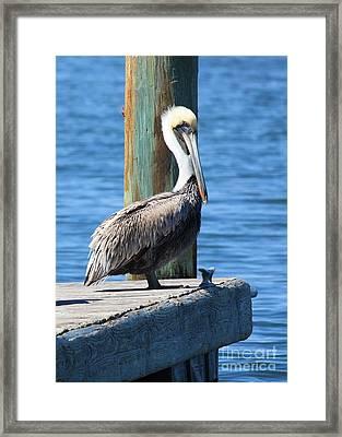 Posing Pelican Framed Print