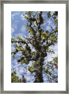 Post Oak With Ball Moss Framed Print by Gregory G. Dimijian