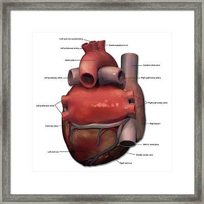 Posterior View Of Human Heart Anatomy Framed Print