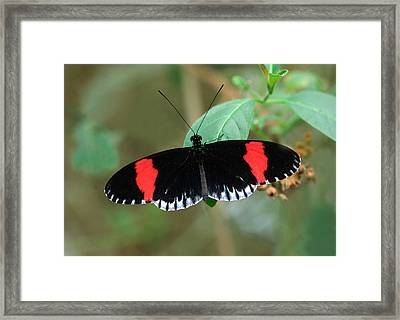 Postman Butterfly Framed Print by Nigel Downer