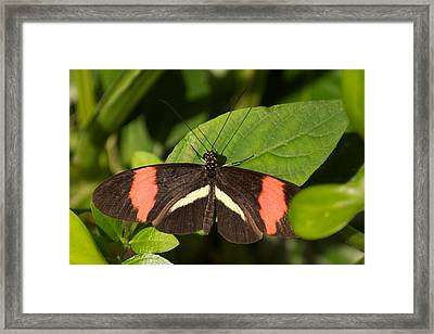 Framed Print featuring the photograph Postman Butterfly by Sandy Molinaro