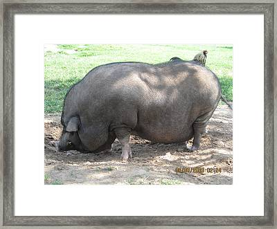 Pot Belly Pig Framed Print by Dick Willis