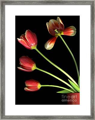 Pot Of Tulips Framed Print by Christian Slanec