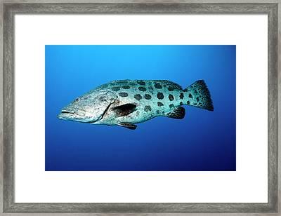 Potato Cod Framed Print