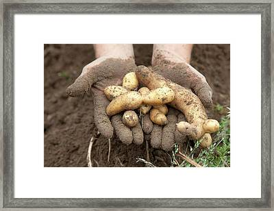 Potato Harvest Framed Print by Jim West