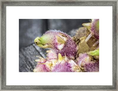 Potato Sproud Side Framed Print by Thomas Olbrich