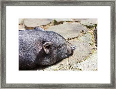 Potbelly Pig Framed Print