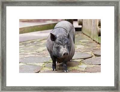 Potbelly Pig Standing Framed Print