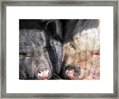 Potbelly Pigs Framed Print