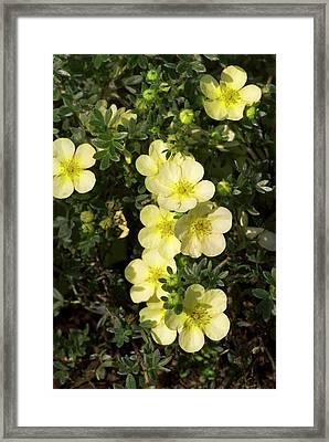 Potentilla Fruticosa 'primrose Beauty' Framed Print