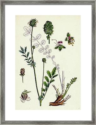 Poterium Muricatum Muricated Salad Burnet Framed Print by English School