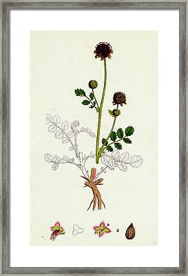 Poterium Sanguisorba Common Salad Burnet Framed Print by English School