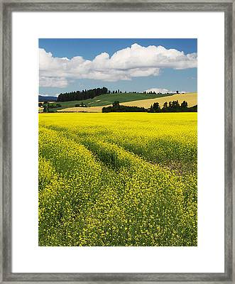 Potlatch Canola Framed Print by Latah Trail Foundation