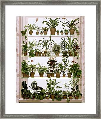 Potted Plants On Shelves Framed Print by Wiliam Grigsby