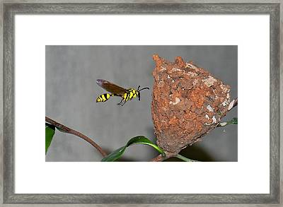 Potter Wasp With Nest Framed Print