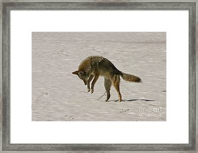 Framed Print featuring the photograph Pouncing Coyote by Mitch Shindelbower