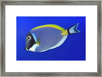 Powder Blue Tang Or Powder Blue Surgeon Framed Print by Nigel Downer