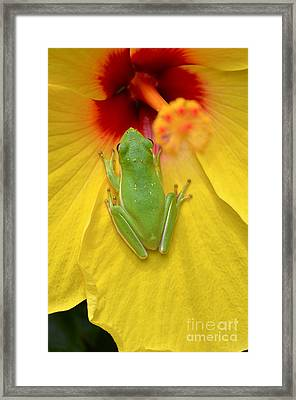 Powdered Frog  Framed Print by Kathy Gibbons